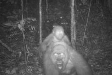 Momen Gorila Terlangka di Dunia Gendong Bayinya