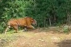 Harimau Buntung