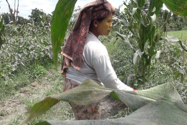 Akibat dari erupsi Gunung Sinabung di Kabupaten Karo, Sumatera Utara, pada Selasa (7/5/2019) kemarin, ada empat kecamatan yang terkena dampak sebaran abu vulkanik. Keempat kecamatan itu yaitu Kecamatan Namanteran, Simpangempat, Berastagi, dan Kabanjahe. Sebagian besar petani di empat kecamatan tersebut harus segera mungkin membersihan dampak abu vulkanik agar tanaman mereka tidak mengalami gagal panen, sabtu (11/5/2019).