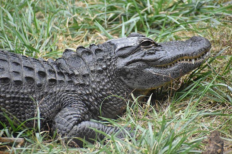 Ilustrasi aligator