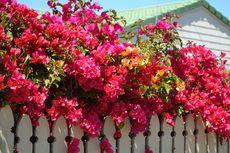 4 Penyakit Umum Tanaman Bunga Kertas atau Bugenvil dan Solusinya