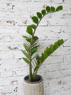 Tanaman daun dolar atau ZZ plant.
