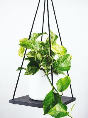 Ilustrasi tanaman hias pothos atau sirih gading.