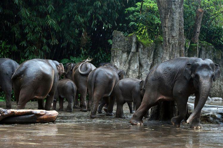 Sekelompok gajah tengah bermain air di Taman Safari Bogor.