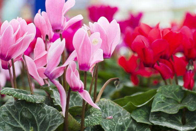 Ilustrasi bunga cyclamen.