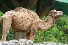Penjaga Kebun Binatang Digigit Unta hingga Alami Luka Serius