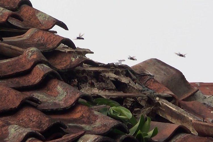 Sarang tawon diduga jenis vespa affinis yang tengah meresahkan warga Cianjur, Jawa Barat. Dua warga setempat sempat disengat dibagian telinga dan tangan.