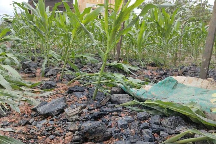 Kebun jagung milik seorang warga saat dipenuhi bongkahan batubara yang diseret arus banjir di kawasan Muang Dalam, Lempake Samarinda, Kalimantan Timur, Jumat (03/09/2021).
