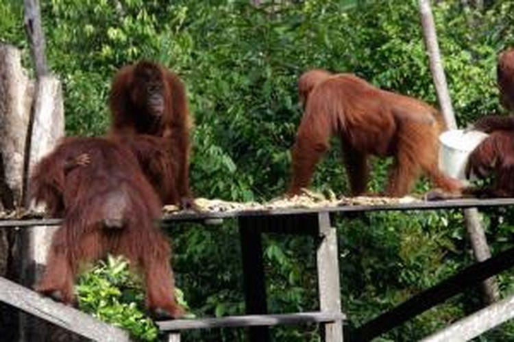 Orangutan di Taman Nasional Tanjung Puting, Kalimantan Tengah.