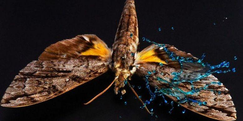 Penelitian tetesan air pada sayap kupu-kupu.