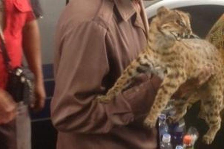 Seorang pedagang menawarkan kucing hutan yang diawetkan di Terminal Purabaya, Sidoarjo, Sabtu (8/3/2014).