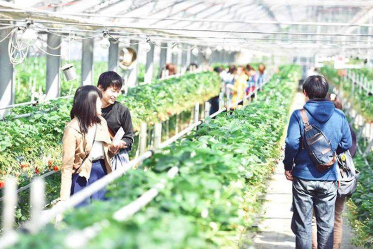 Wisatawan bisa mencicipi dan memetik buah-buahan di kebun di Wakayama, Jepang.
