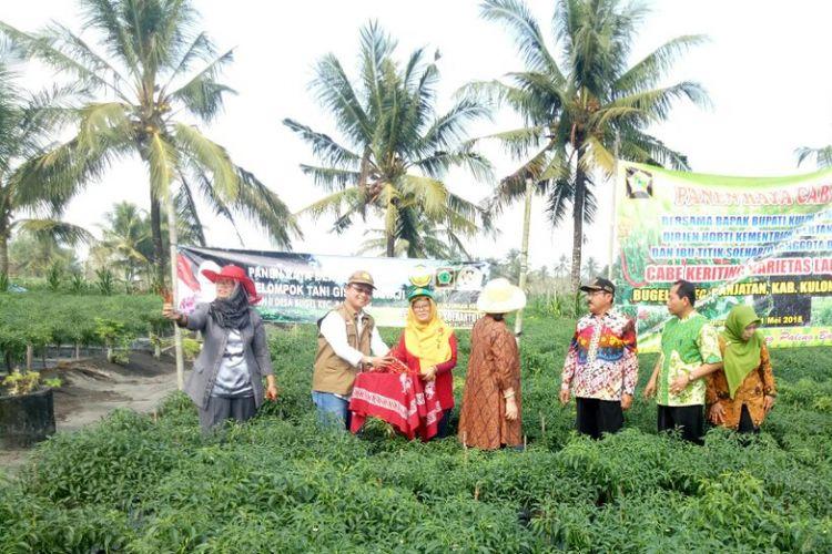 Panen raya cabai keriting di Kabupaten Kulon Progo, Daerah Istimewa Yogyakarta, Sabtu (12/5/2018). Hasil panen cabai dari Kulon Progo akan dipasok ke Jabodetabek dan Sumatera.