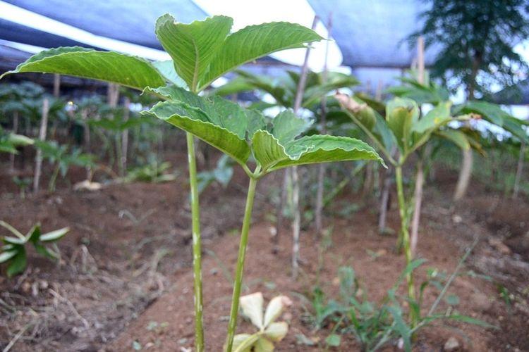 Tanaman porang yang baru berusia bulanan di lahan milik Edy Effendi di Jalan Balai Desa, Pasar 12 Patumbak, Kecamatan Patumbak, Deli Serdang,