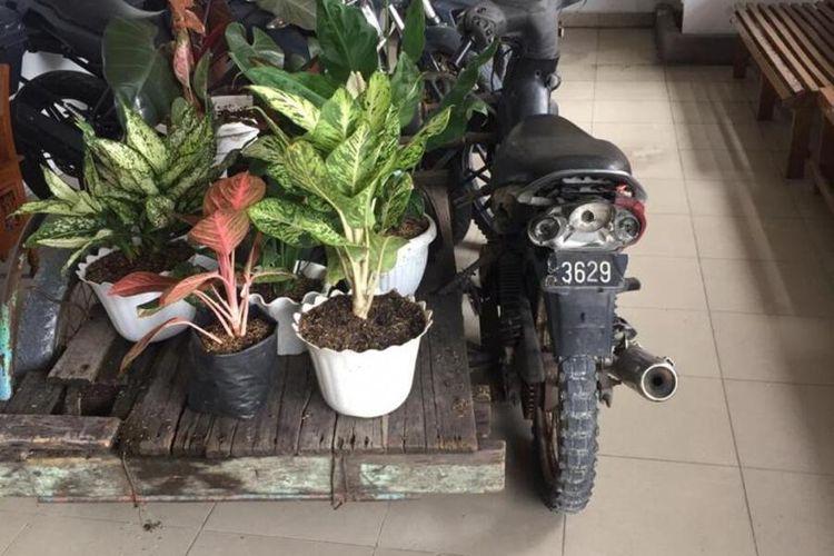 Barang bukti bunga Aglonema yang disita Polsek Payung Sekaki dari pelaku JA saat ditangkap di Pekanbaru, Riau, Selasa (24/11/2020).