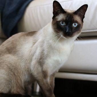 Ilustrasi kucing ras Tonkinese.