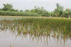 Hujan Deras, 30 Hektare Lahan Padi Siap Panen di Ngawi Kebanjiran