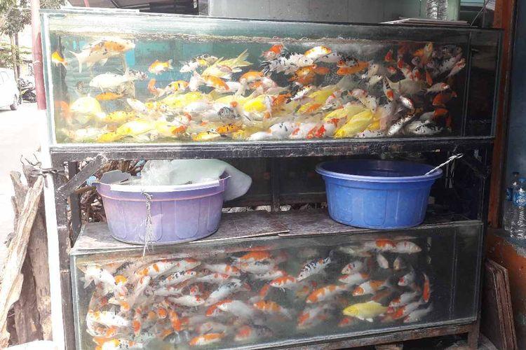 Akibat Pemadaman Listrik Ikan Koi Dagangan Di Pasar Ikan