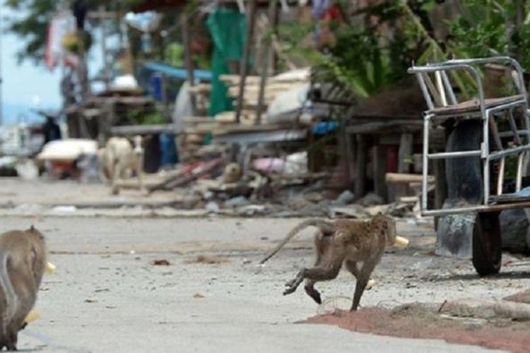 Monyet ekor panjang berlari sambil membawa makanan yang dicuri dari rumah-rumah penduduk di Desa Khlong Charoen Wai, Provinsi Chachoengsao, Thailand.