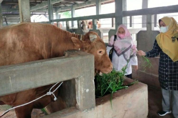 Inilah sapi kurban Presiden Jokowi untuk Riau yang berbobot 891,55 kilogram jenis Limousin dibeli dari peternak di Kabupaten Bengkalis, Riau, Selasa (13/7/2021).