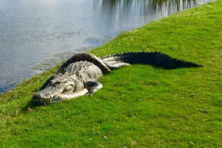 Alligator dan ular sanca bodo di The Golf Club at Fiddlers Creek.