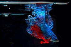 5 Kesalahan Pemula Saat Akan Memelihara Ikan Cupang