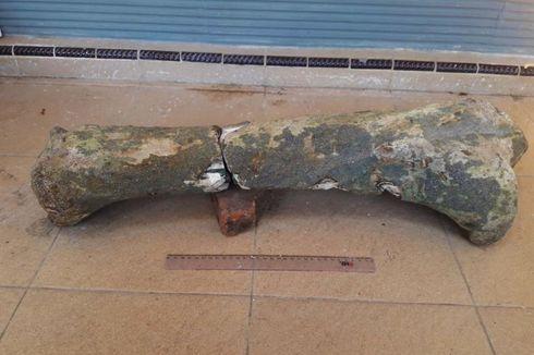 Museum Trinil Ngawi Teliti Fosil Kaki Gajah Purba yang Ditemukan Warga
