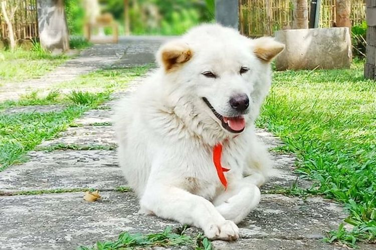 Anjing Kintamani. Ras anjing asli Bal
