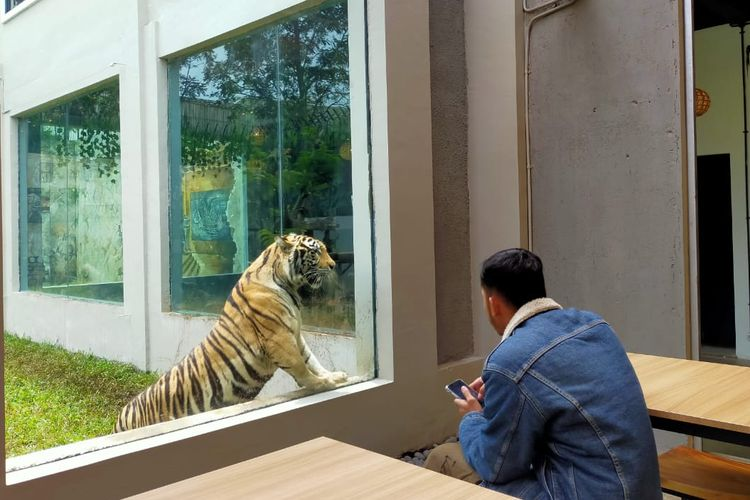 Lembang Park & Zoo memiliki resto dengan sensasi pemandangan harimau. Pengunjung bisa makan santai hanya berjarak satu meter dari harimau.