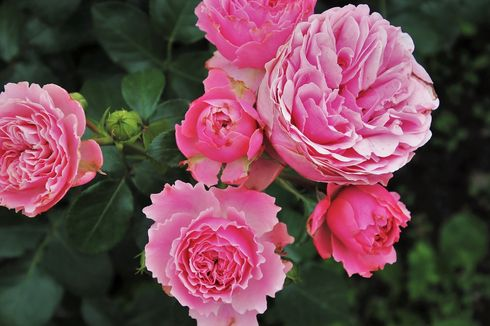 7 Bunga yang Memakai Nama dari Anggota Keluarga Kerajaan Inggris