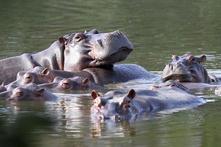 Kuda nil mengapung di danau di Hacienda Napoles Park, yang pernah menjadi tanah milik gembong narkoba Pablo Escobar yang mengimpor tiga kuda nil betina dan satu jantan puluhan tahun lalu di Puerto Triunfo, Kolombia, Kamis, 4 Februari 2021.