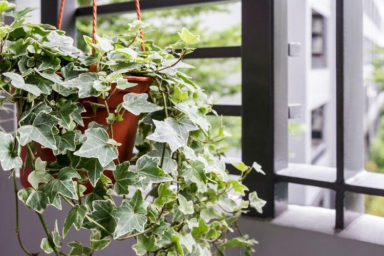 tanaman English Ivy