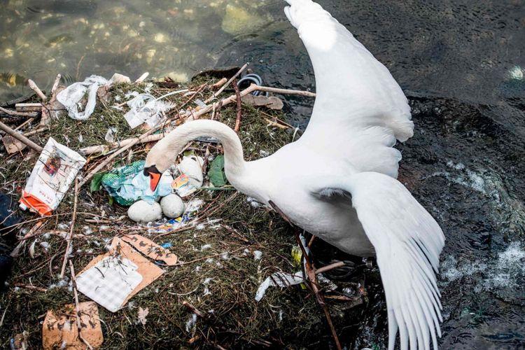 Angsa-angsa di danau Kopenhagen terpaksa bertelur pada sarang dari plastik