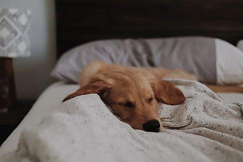 Amankah Membiarkan Anjing Tidur di Kasur?