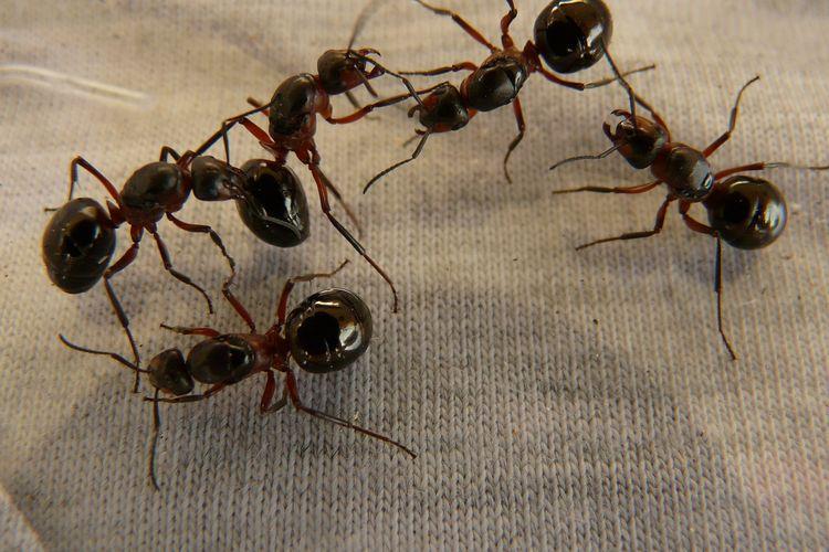Ilustrasi semut.
