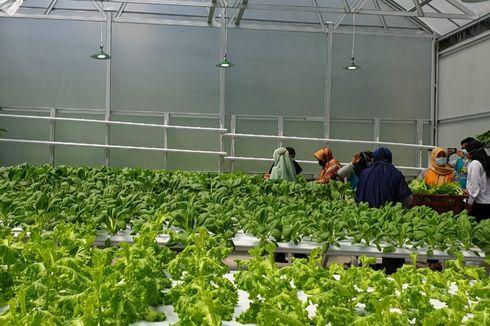 Dibangun Menggunakan Dana Desa, Greenhouse Hidroponik Berisi Aneka Sayuran Hadir di Belitung
