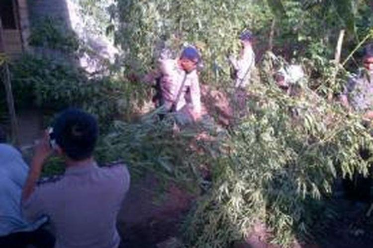 Aparat kepolisian Polda Maluku Utara menyita kebun ganja seluas 0,5 hektar di Desa Ngidiho, Kecamatan Galela Barat, Kabupaten Halmahera Utara, Rabu (6/11/2013).
