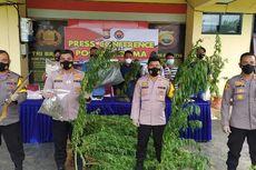 12 Jam Susuri Hutan, Polisi Temukan 2 Hektar Ladang Ganja dan Pondok Berisi Senpi di Bengkulu