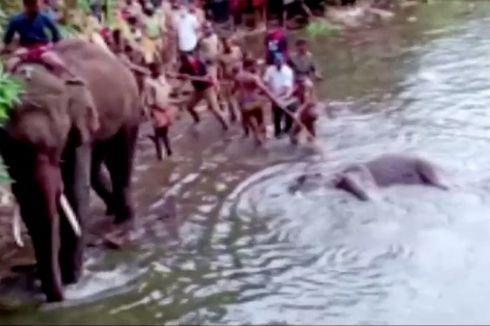 Gajah Makan Petasan Mati Berdiri, Pemerintah India Buru 3 Tersangka