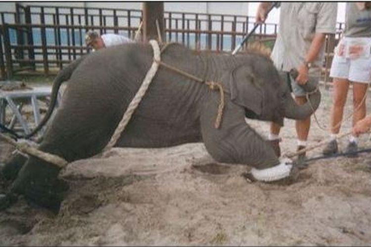 Seekor bayi gajah yang sedang diajari untuk melakukan sirkus.
