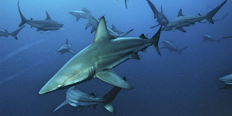 Hiu blacktip (Carcharhinus limbatus)