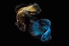 Capai Puluhan Juta, Ini Daftar Ikan Cupang Termahal di Dunia