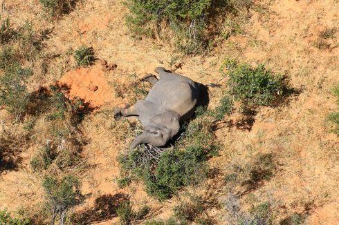 275 Gajah Mati Misterius di Botswana, Bukan karena Perburuan