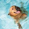 7 Ras Anjing yang Tidak Bisa Berenang