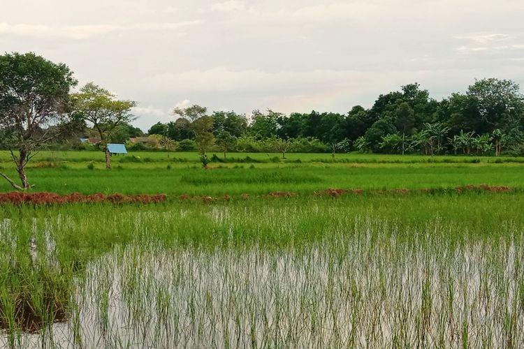 Sawah petani di Kecamatan Kedungwaru, Karangrejo, dan Kauman, Kota Tulungagung, Jawa Timur (Jatim) terendam air dan mengalami gagal panen.
