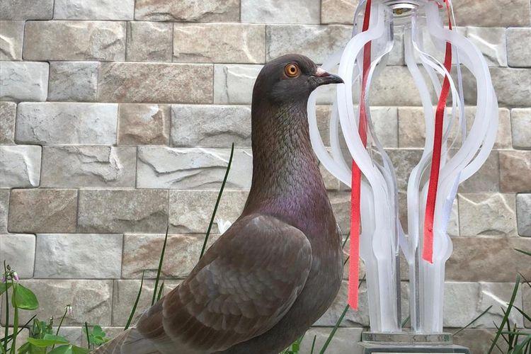 Jayabaya, burung merpati yang dibeli seharga Rp.1.000.000.000