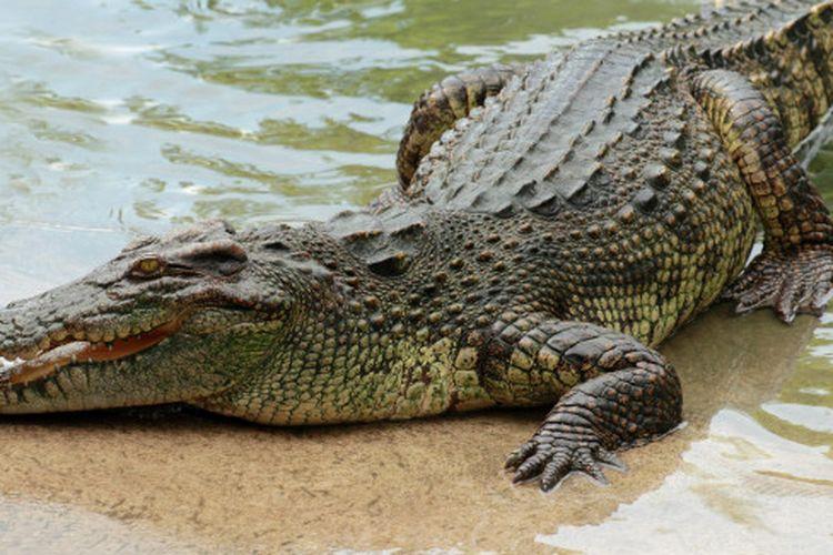 Crocodile illustration.
