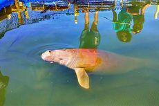Seekor Dugong Diselamatkan Setelah Terjerat Pukat Nelayan di Ketapang