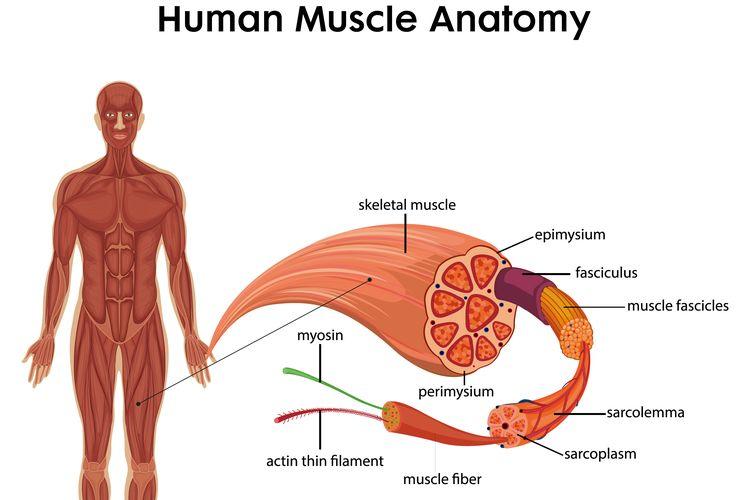 Ilustrasi otot pada manusia