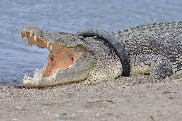 Seekor buaya muara (Crocodylus porosus) dengan ban yang menjerat lehernya terlihat di sungai <a href='https://palu.tribunnews.com/tag/kota-palu' title='KotaPalu'>KotaPalu</a>, Sulawesi Tengah, Selasa (16/1/2018). Pihak konservasi setempat terus berupaya melakukan penyelamatan buaya berukuran sekitar 4 meter dengan ban yang melilit lehernya selama 2 tahun terakhir tersebut.
